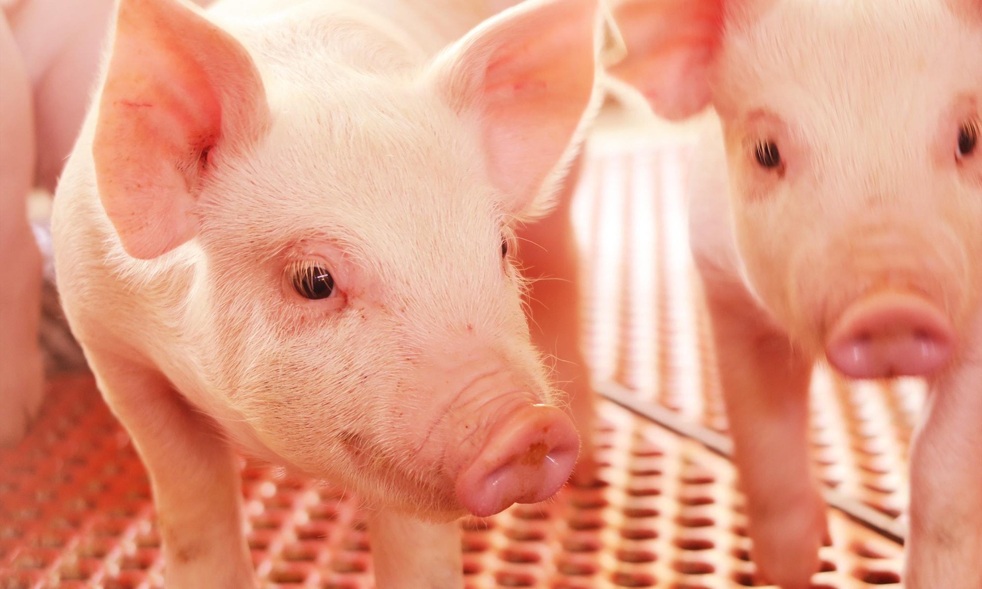 千葉県の美味しいブランド豚 林SPFポークブログ