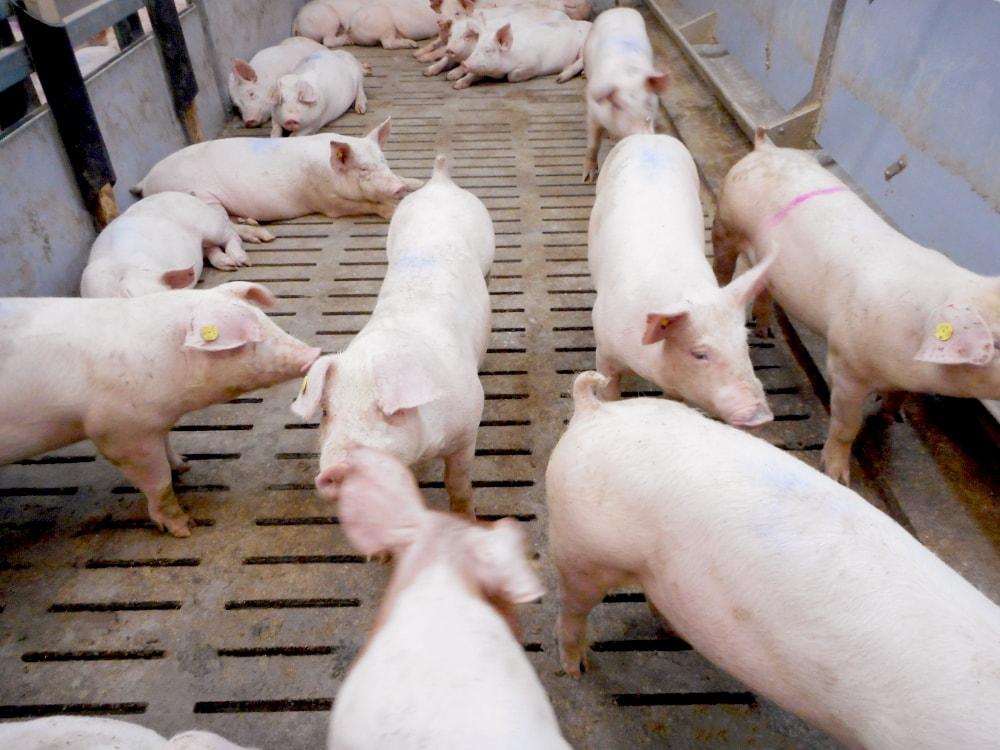 デンマーク養豚